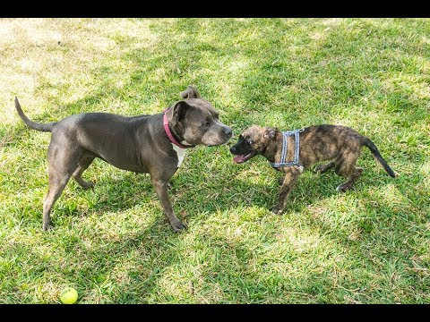 Rescue Pit Bull and Foster Puppy Playtime!