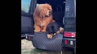 giant tibetan mastiff dog