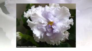 Белые фиалки  Удивительная красота и белые фиалки(Белые фиалки Удивительная красота и белые фиалки. Белые фиалки. Прекрасные белые фиалки украшают любой..., 2014-09-17T11:08:41.000Z)