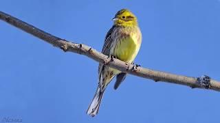 Голоса птиц Как поёт Овсянка обыкновенная Emberiza citrinella