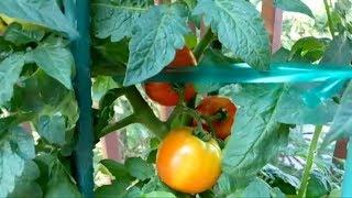 Огород на патио у дома в США