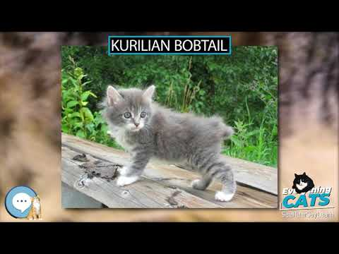 Kurilian Bobtail 🐱🦁🐯 EVERYTHING CATS 🐯🦁🐱