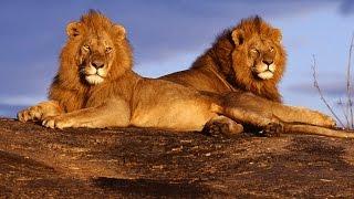 Дикая природа Батсвана Братство львов National Geographic Wild