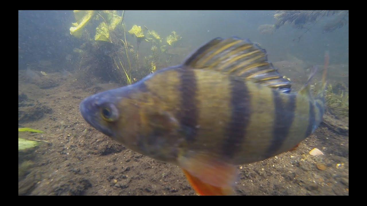 blob fisk