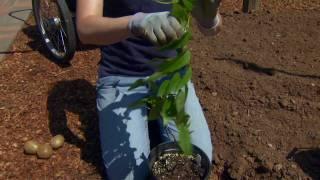 Planting a Hardy Kiwifruit