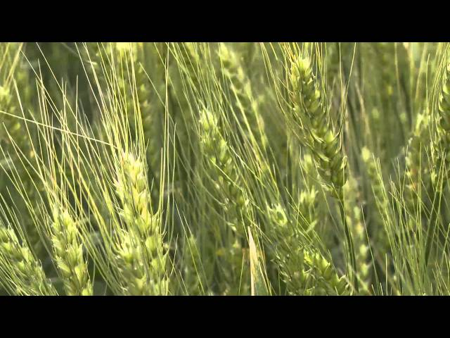 SeCan  HY1610 CPS wheat Travel Video