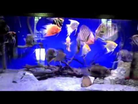 Uaru, Severum, Discus And Angelfish Community Tank