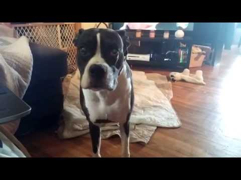 Think this Boxer is excited about going for a walk?