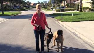Mastiff Results - Walking Dogs On A Loose Leash