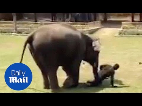 Elephant Rushes To Save Care-taker In Danger