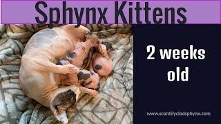 Saya's Sphynx Kittens - 2 weeks old