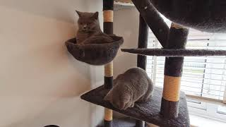 British Shorthair Cats Kim and Melody on the Cat Tree
