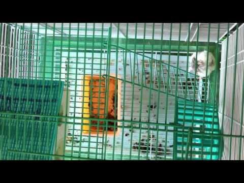 Mina Animal Market - Abu Dhabi - Hamster