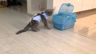 Кошка после наркоза.