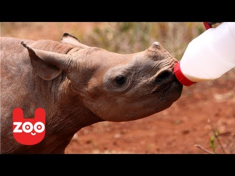 Rhino Orphanage in South Africa: Rhino Poaching is Worse than Ever!