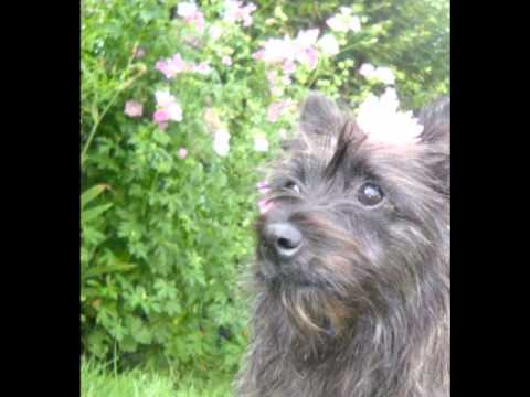 Lady the Bushland Terrier