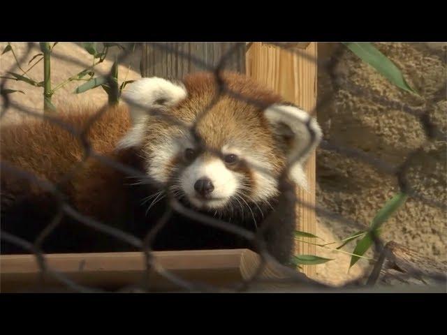 Milwaukee zoo debuts red panda cub