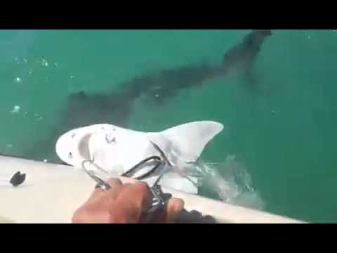 Great White Shark ate half of my Leopard Shark