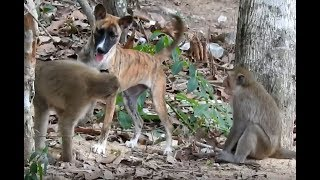 Wow Monkey Vs Dog what a funny day for this dog to mess with a group of monkey.