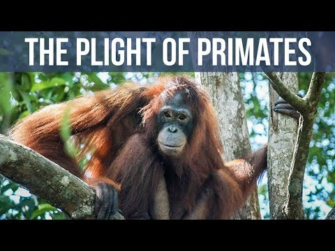Pony the Orangutan Slave, and the Plight of Primates
