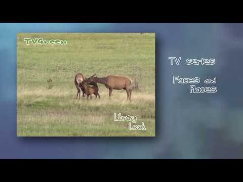 LibraryLook: Yellowstone - Elk Encounters