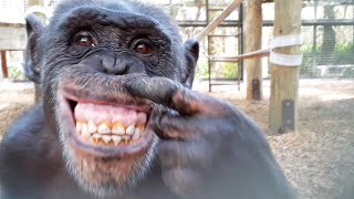 Chimpanzees React to Their Reflections in a Mirror
