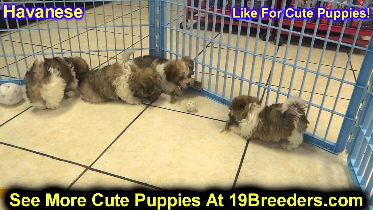 Havanese Puppies For Sale Inomaha Nebraska Nelincoln