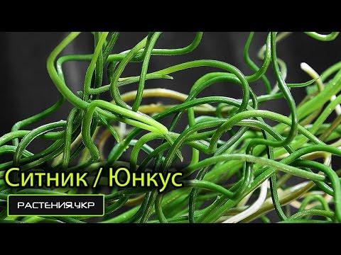 Ситник или Юнкус / водные растения