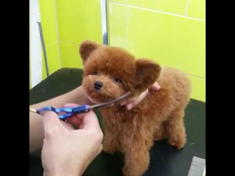 Teddy SHU - Teddy bear hair cut