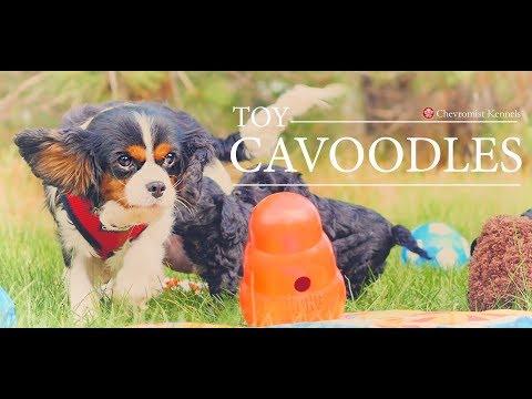 Cavoodle Puppies Chevromist Kennels