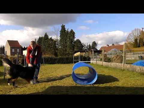 Ozzy the australian shepherd agility training