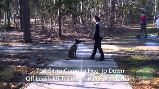 "5mo Dutch Shepherd ""tori""  Before And After Video - Dog Trainer Raleigh Durham"