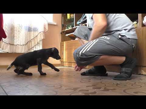 Дрессировка щенка дратхаара .1 часть