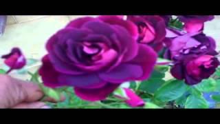 видео Роза Burgundy Ice
