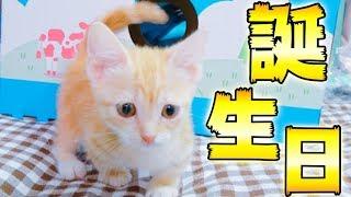 生後2ヶ月マンチカンの赤ちゃん猫の誕生日に家をプレゼントしたら、想像を絶するほ…