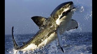 А вы знали, что акулы боятся дельфинов? И вот почему