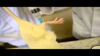 влияние этанола на организм крысы(кафедра патологической физиологии СГМУ., 2014-05-05T21:42:13.000Z)