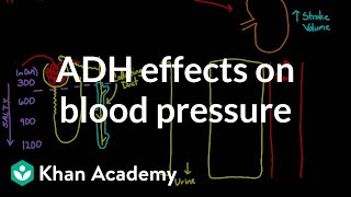 ADH effects on blood pressure