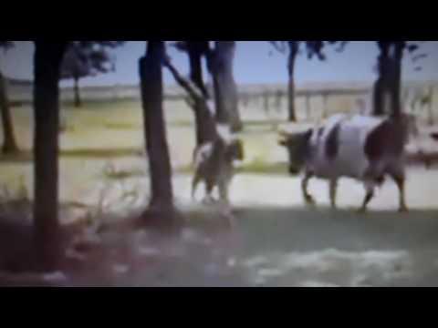Carneiro contra a vaca