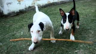 Juana Y Pascual Bull Terrier
