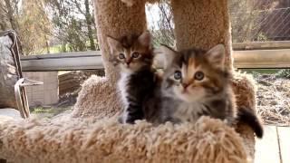 купить сибирского котёнка - видео 5