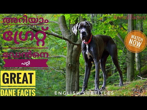Facts about Great Dane | Malayalam | Animal Factory