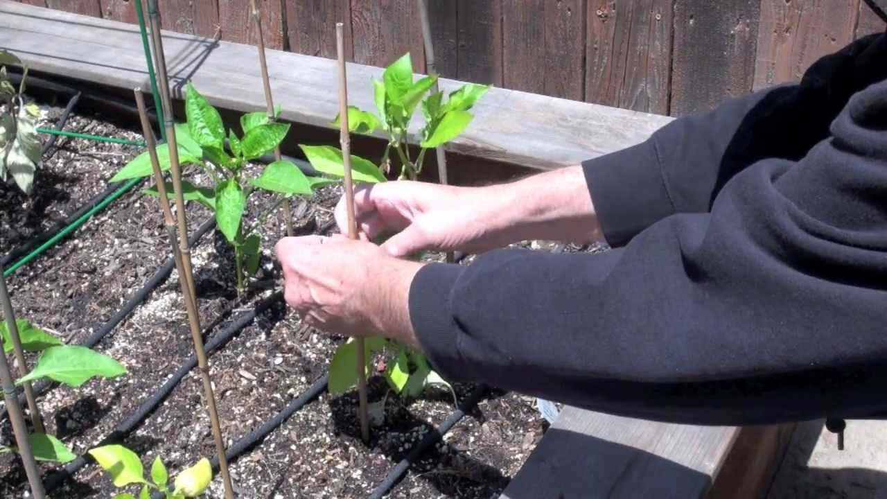 How to Stake Chile Pepper Plants