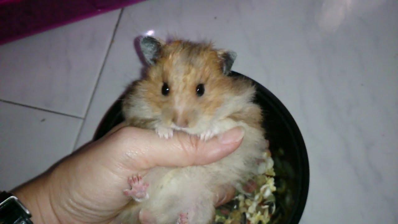 Bbw Hamster
