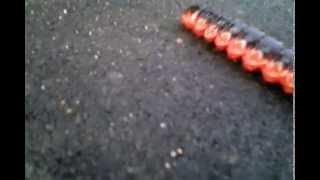 гусеница по тротуару(Самая большая гусеница., 2015-09-26T19:42:11.000Z)