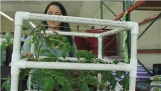 Tomatoes And Indoor Vegetable Gardens : How Do I Grow Giant Tomato Plants?