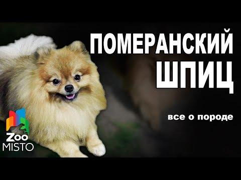 Частые заболевания карликовых пород собак, которые должен знать хозяин
