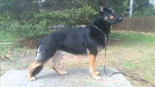 A.k.c German Shepherd Stud