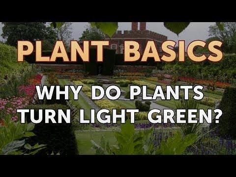 Why Do Plants Turn Light Green?