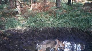 W naszych lasach żyją... wilki! Więcej na faktykaliskie.pl